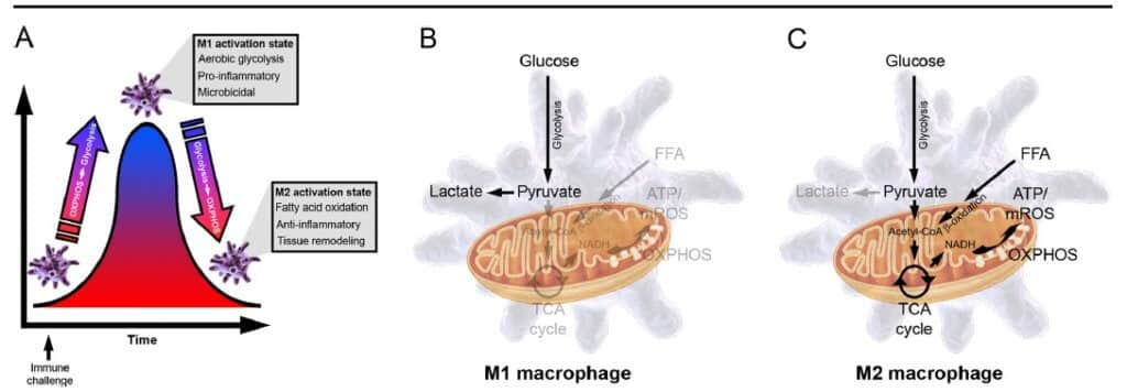 macrophages_states