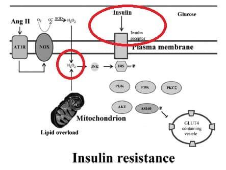mitochondrion_IR